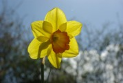 <strong>narcis</strong>
