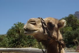 <strong>our camel</strong>