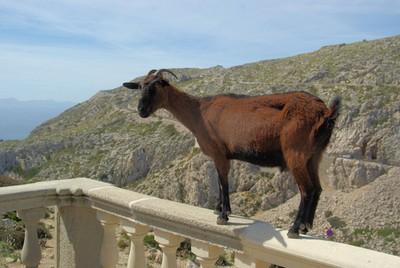 <strong>Mallorca goat</strong>