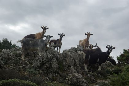 <strong>curious goats</strong>